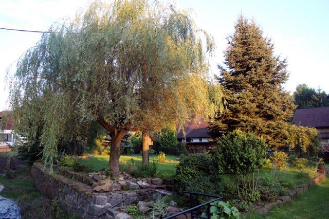 Zahrada - stará vrba